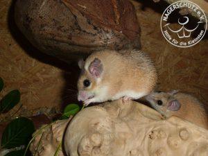 Hier sieht man deutlich den Specknacken. Ein Zeichen für die Verfettung der Maus.