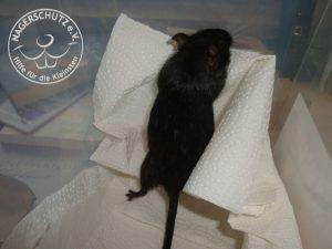Die typische Umfangsvermehrung am Bauch wolbt sich deutlich abgegrenzt auch seitlich zwischen Rippenbogen und Hüfte. Bei übergewichtigen Mäusen fehlt diese Abgrenzung. Bei trächtigen Mäusen zeigt sich diese weiter im Unterbauch.
