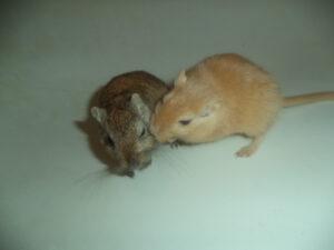 Hier wird schon zögerlich angefangen das Fell der anderen Maus zu untersuchen...