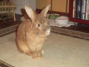 Auch nach 10 Jahren Einsamkeit und Gitterkäfighaltung kann ein Kaninchen noch lernen in der Wohnung frei zu leben.