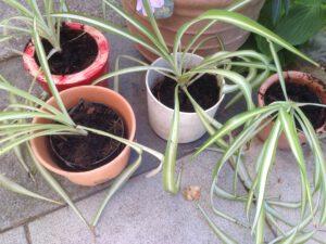 Aus einer Pflanze wurden 4 kleine Jungpflanzen