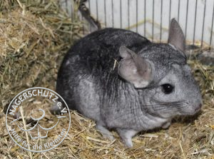 Chinchilla-2-300x223