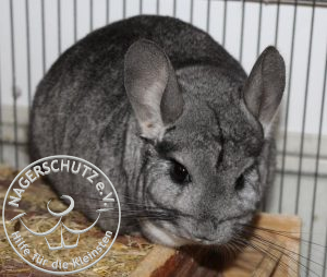 chinchilla-1-300x254